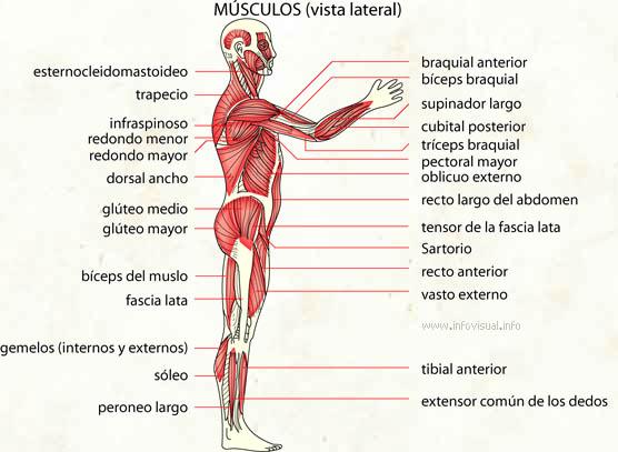 Musculo - El Diccionario Visual