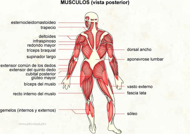 Musculos (vista posterior) - El Diccionario Visual