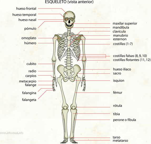Esqueleto - El Diccionario Visual