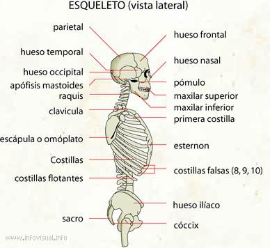 Esqueleto (vista lateral) - El Diccionario Visual