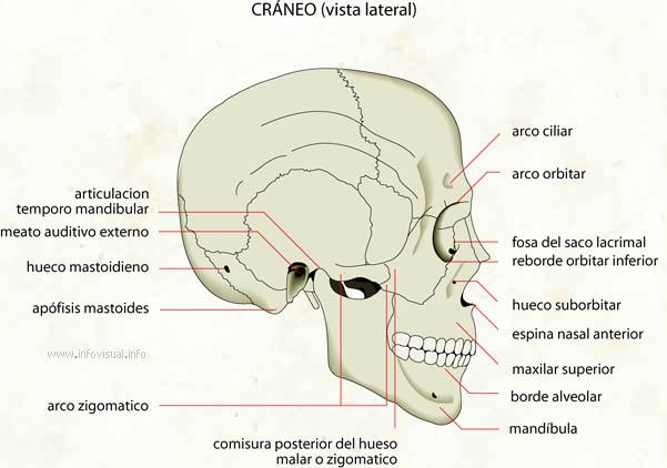 Cráneo (vista lateral)