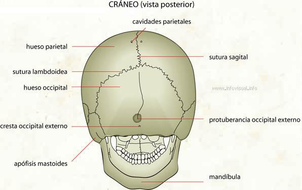 Cráneo (vista posterior) - El Diccionario Visual