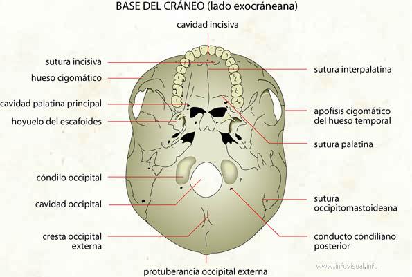 Base del cráneo