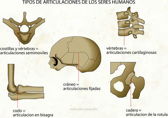 Tipos de articulaciones - El Diccionario Visual