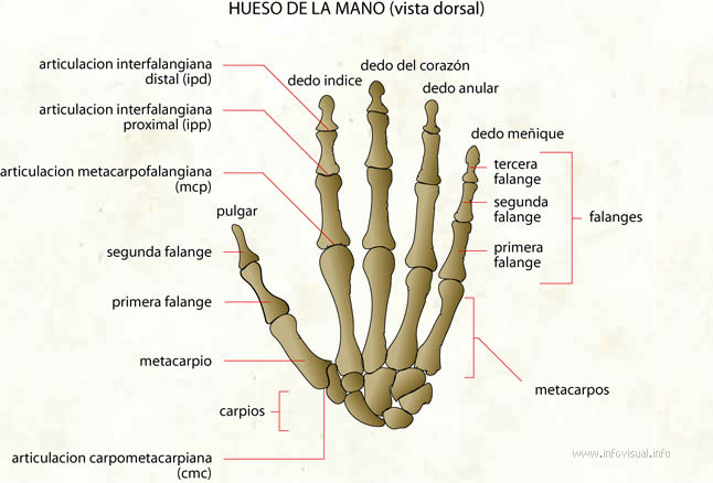 Worksheet. Hueso de la mano  El Diccionario Visual