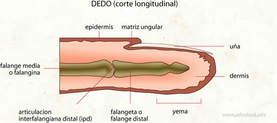 Dedo (corte longitudinal)