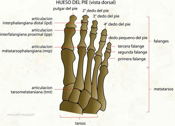Hueso del pie - El Diccionario Visual