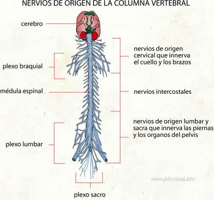 Nervios de origen de la columna vertebral - El Diccionario Visual