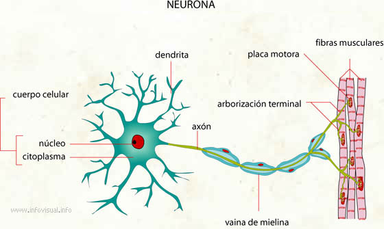 Neurona  El Diccionario Visual