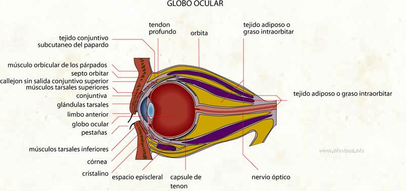 Globo ocular - El Diccionario Visual