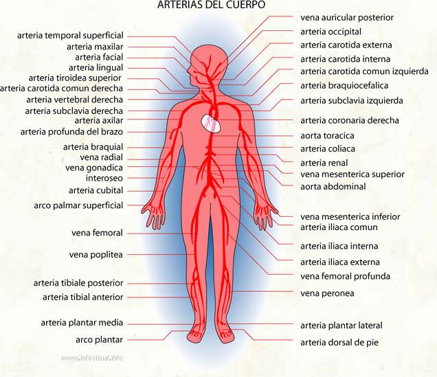 Arterias  El Diccionario Visual