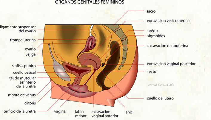 Organos genitales femininos - El Diccionario Visual