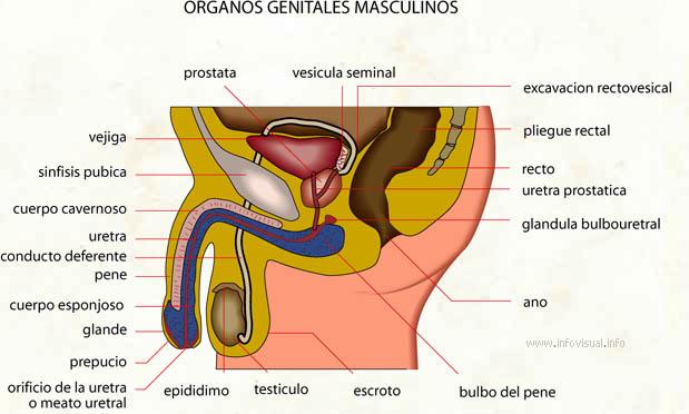 Organos genitales masculinos - El Diccionario Visual