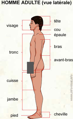 Homme adulte (vue latérale)
