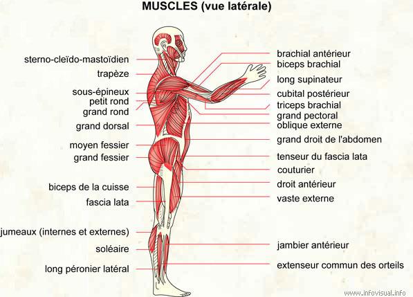 Muscles (vue latérale)