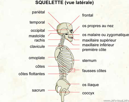 Squelette (vue latérale)