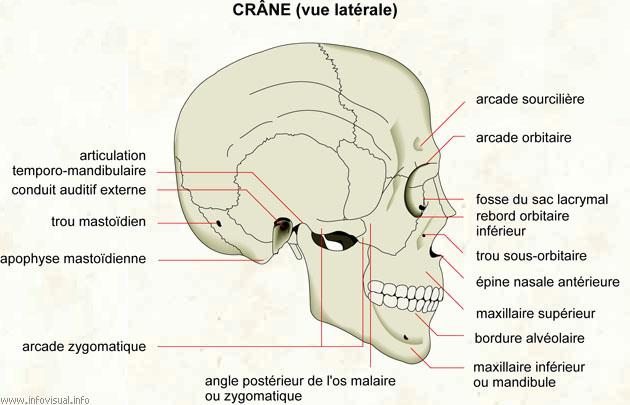 Crâne (vue latérale)