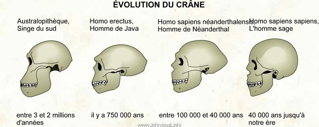 Évolution du crâne