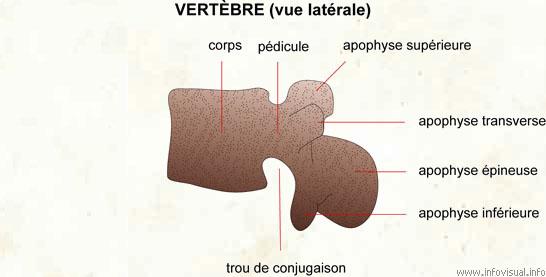 Vertèbre (vue latérale)