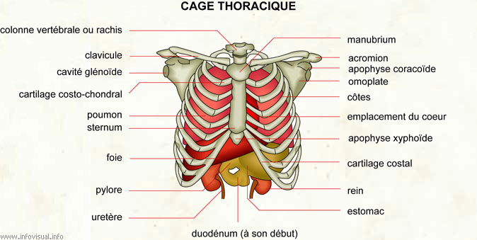 Cage thoracique
