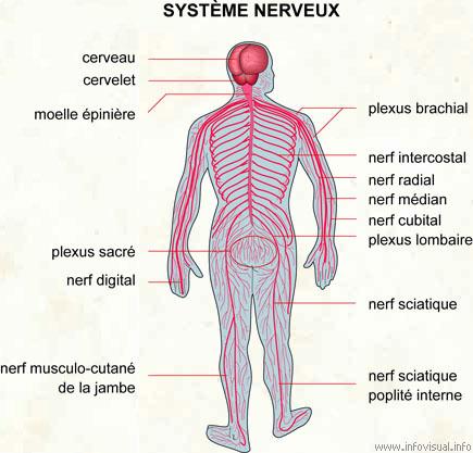 """Résultat de recherche d'images pour """"système nerveux"""""""