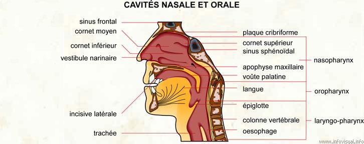 Cavités nasale et orale