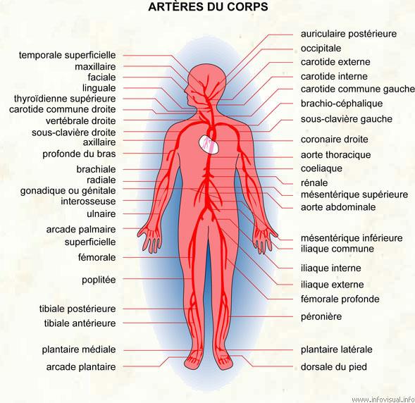 Artères du corps